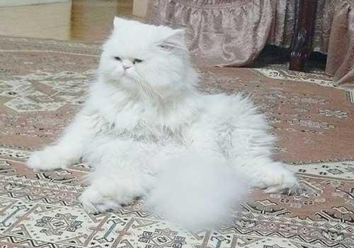گربه شیطون