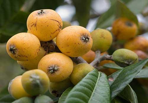 ازگیل میوه زمستان
