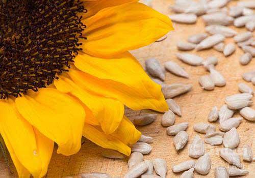 دانه های آفتابگردان برای تقویت سیستم ایمنی بدن