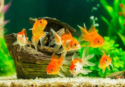 ماهی قرمز شب عید