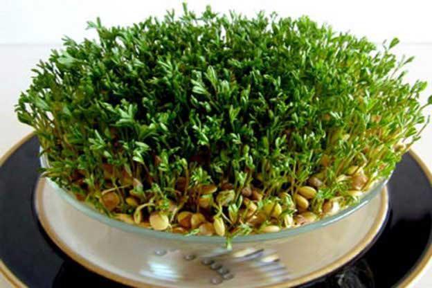 کاشت سبزی عید با عدس
