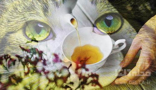 چاي کوهي