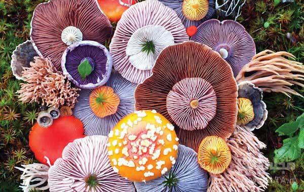 انواع-قارچ-خوراکی