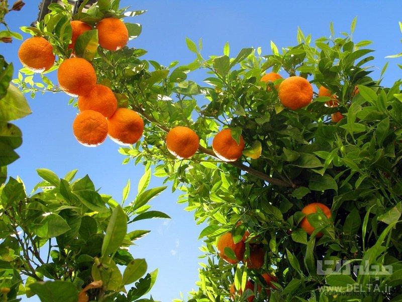 تاثیر نارنج بر کبد