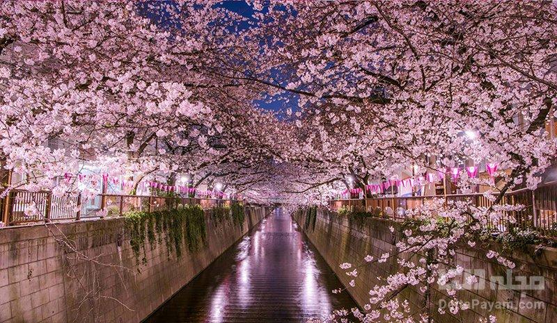 فستیوال های ژاپن جشن شکوفه های گیلاس ژاپن