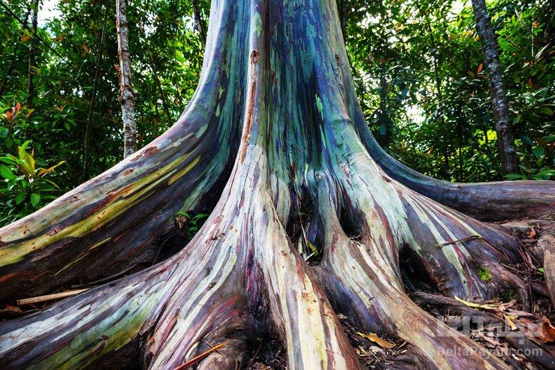 درخت اکالیپتوس، درخت رنگین کمان