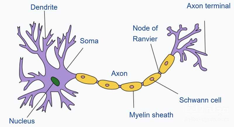 سلولهای مغز دندریت