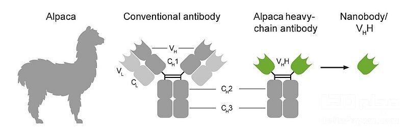 آنتی بادی بدن انسان در درمان کرونا