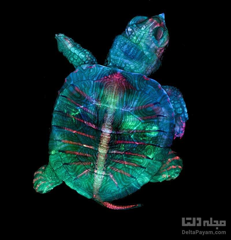 فتومیکروگرافی لاکپشت