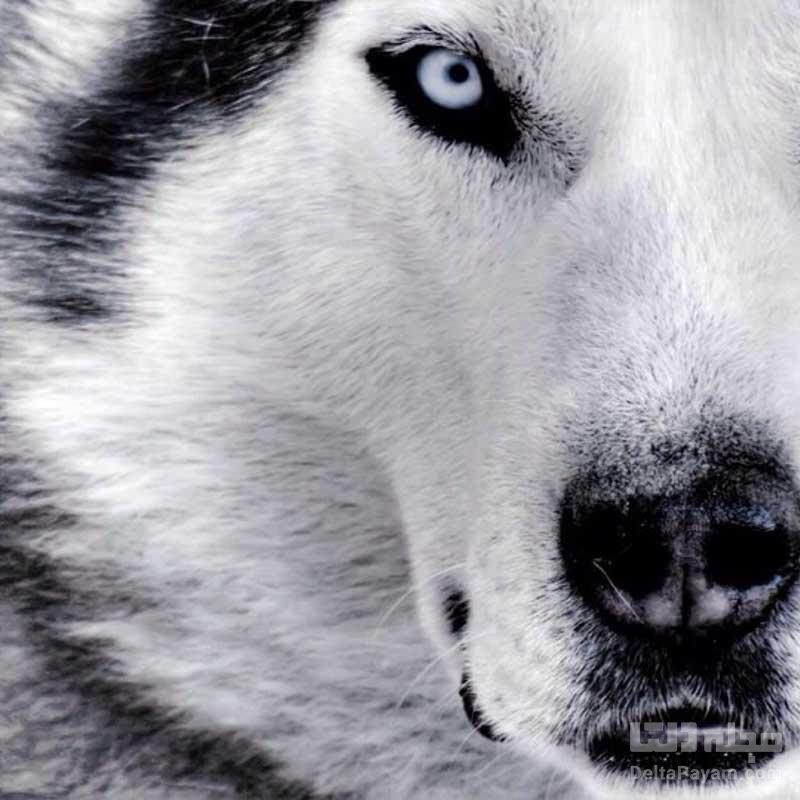 گرگ های بالغ به انسان وابسته میشوند