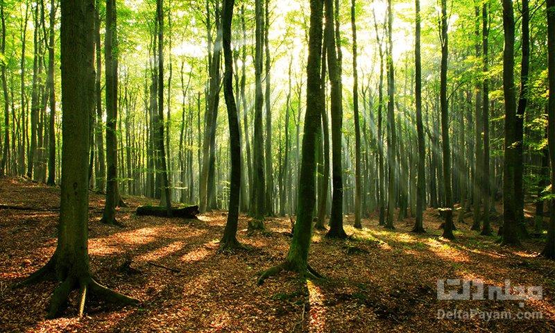 چرا جنگل راش مهم است؟