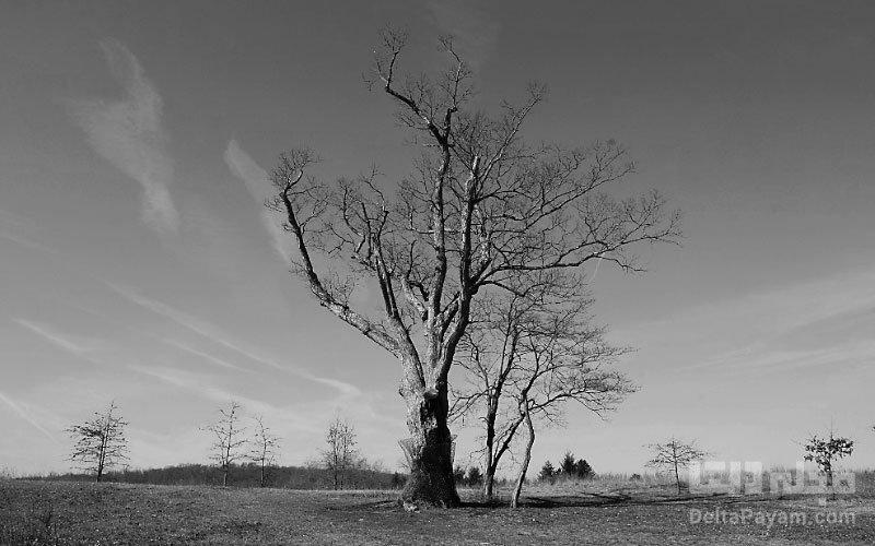 درخت نفرینشده