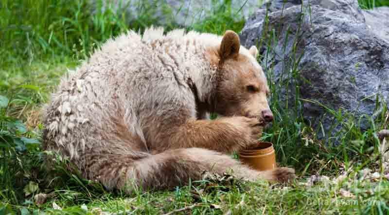 خرس های عاشق عسل هستند