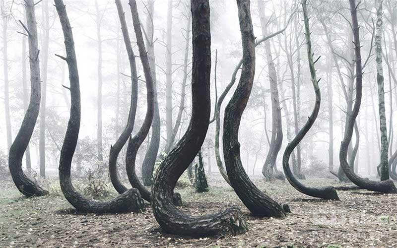 درختان کج