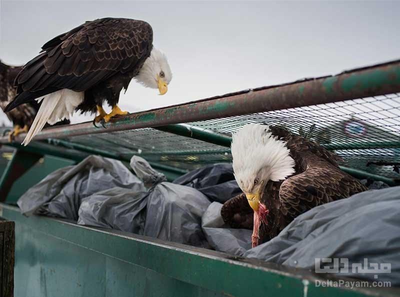 زندگی در کنار عقابها