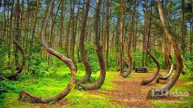 جنگل کج لهستان