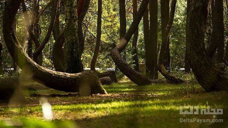 درباره جنگل کج