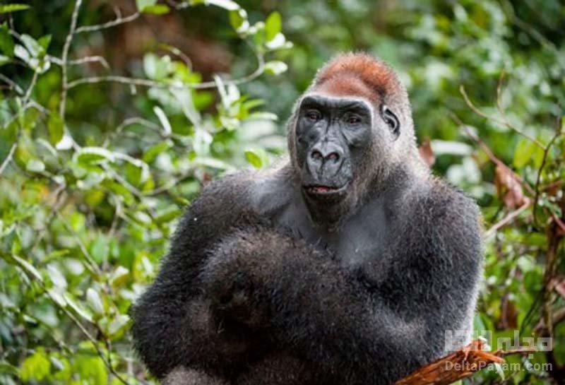 گوریل گونه های در خطر انقراض
