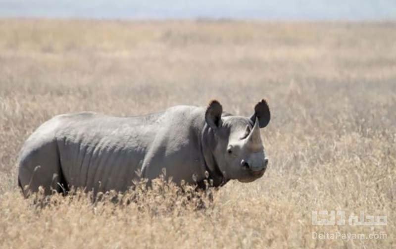 کرگدن گونه های در خطر انقراض