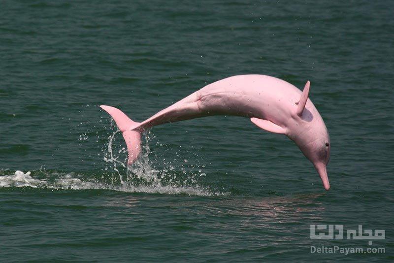 دلفین صورتی از عجایب رودخانه آمازون