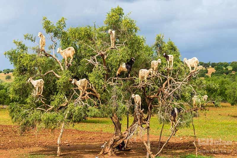 بزهای درختی مراکش و درخت آرگان