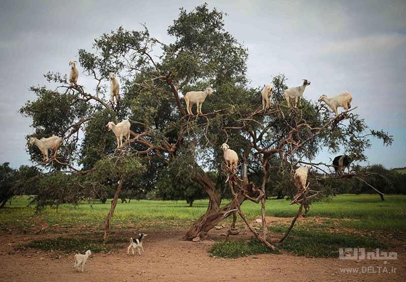 بزهای درختی مراکش روی درخت آرگان