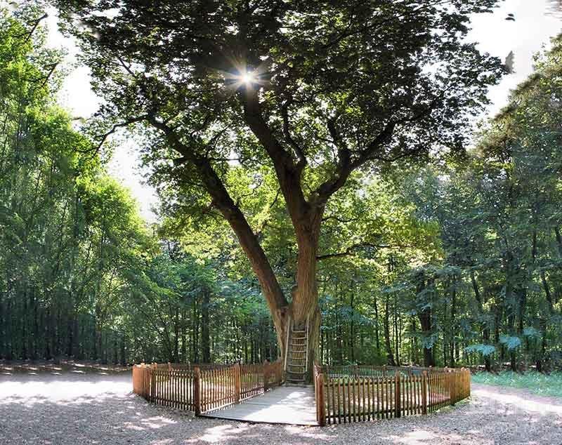 معرفی درخت عروس و داماد در آلمان