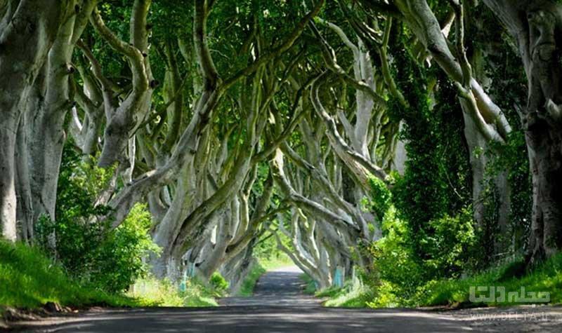 درختان راش