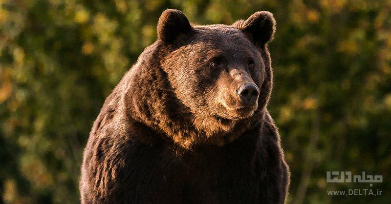 خرس خانگی در آفریقا