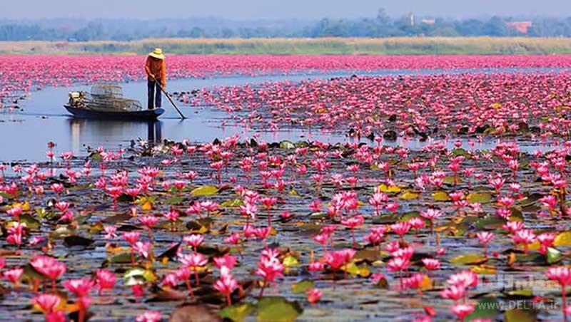 دریای نیلوفرهای قرمز تایلند