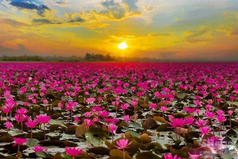 دریاچه نیلوفر تایلند